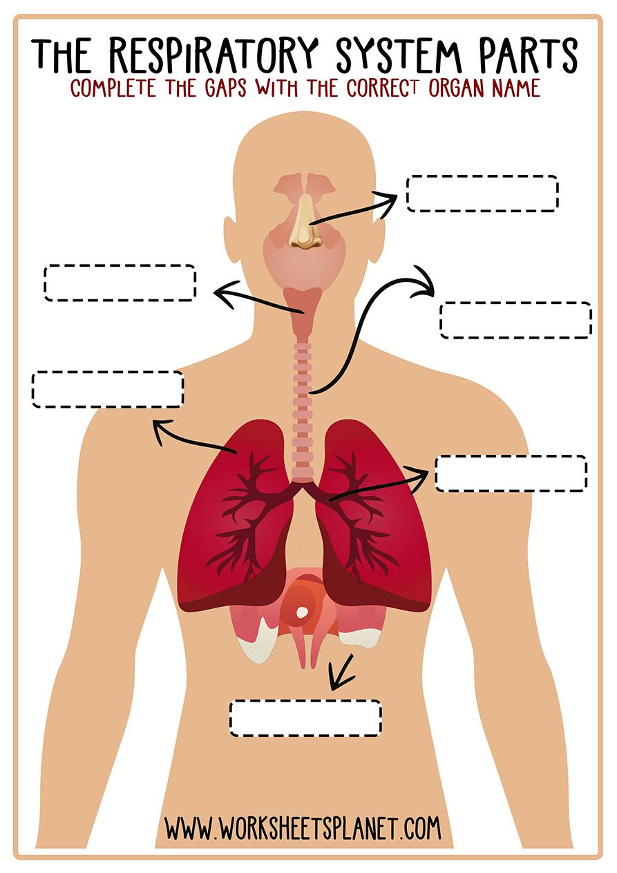 Respiratory System for Kids (Diagram + Theory + Vocabulary)